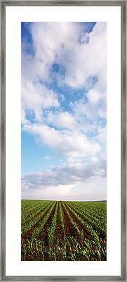 Corn Field And Clouds Framed Print