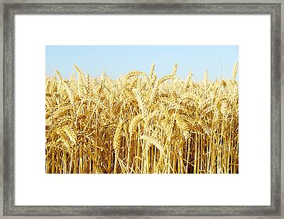 Corn Field Framed Print by Chevy Fleet