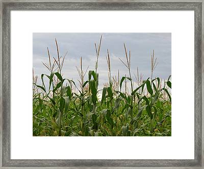 Framed Print featuring the photograph Corn Field by Laurel Powell