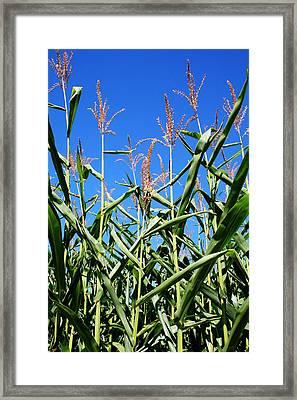 Corn Field Rural America Framed Print by Heather Allen