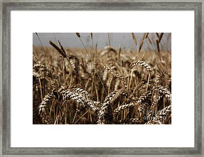 Framed Print featuring the photograph Corn Field by Vicki Spindler