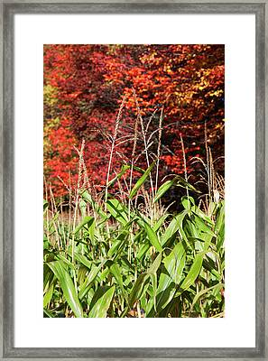 Corn Growing In A Field And Autumn Framed Print by Jenna Szerlag