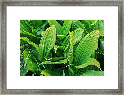 Corn Lilies Glacier National Park Framed Print by Rich Franco