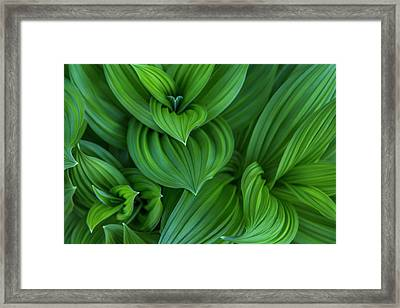Corn Lily Aka False Hellebore Framed Print by Chuck Haney