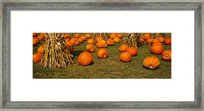 Corn Plants With Pumpkins In A Field Framed Print