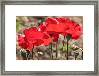 Framed Print featuring the photograph Corn Poppies by Michele Penner