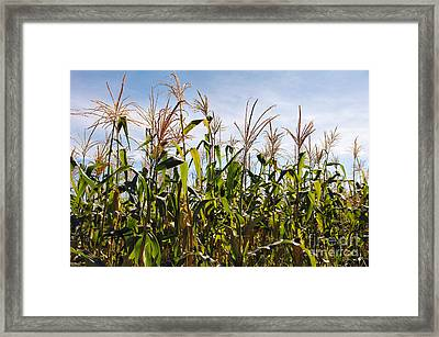 Corn Production Framed Print by Carlos Caetano