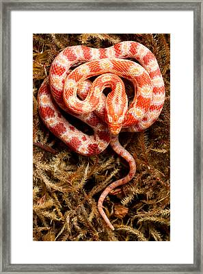 Corn Snake Pantherophis Guttatus On Moss Framed Print by David Kenny