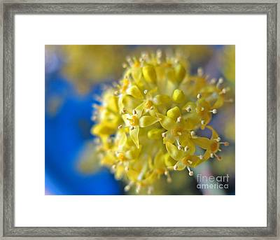 Cornelian Cherry. Cornus Mas. European Cornel Framed Print by Ausra Huntington nee Paulauskaite