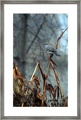 Cornfield Mocker Framed Print by Skip Willits