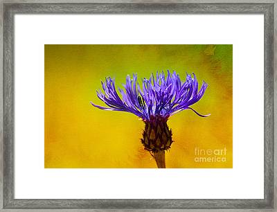 Cornflower Composing Framed Print by Lutz Baar