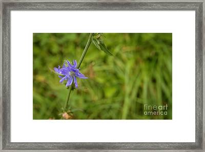 Cornflower In The Fields Framed Print by Jolanta Meskauskiene
