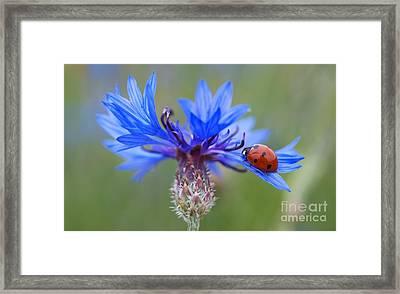 Framed Print featuring the photograph Cornflower Ladybug Siebenpunkt Blue Red Flower by Paul Fearn