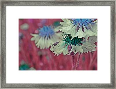 Cornflower With Lilac Fly Framed Print by Marianna Mills