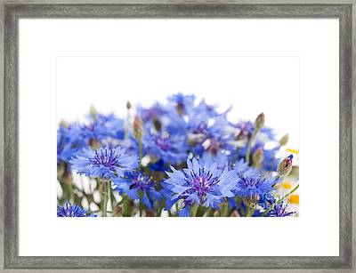 Blue Cornflower Flowerheads Isolated On White  Framed Print by Arletta Cwalina