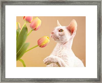 Cornish Rex Cat Framed Print