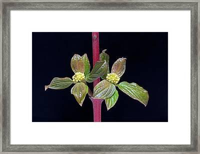 Cornus Alba Siberica Young Shoot Framed Print