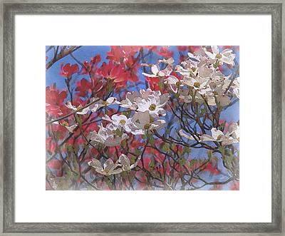 Cornus Florida In Bloom Framed Print