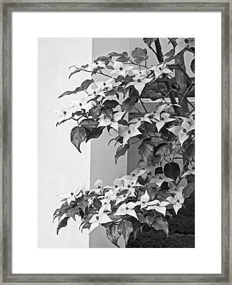 Cornus Kousa Chinese Dogwood Black And White Framed Print by Gill Billington