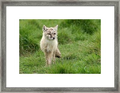 Corsac Or Steppe Fox Framed Print by Nigel Downer
