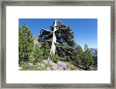 Corsican Pine Framed Print by Dr Juerg Alean