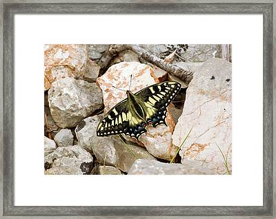 Corsican Swallowtail Butterfly Framed Print by Bob Gibbons