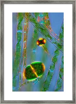 Cosmarium And Filamentous Algae, Lm Framed Print by Marek Mis