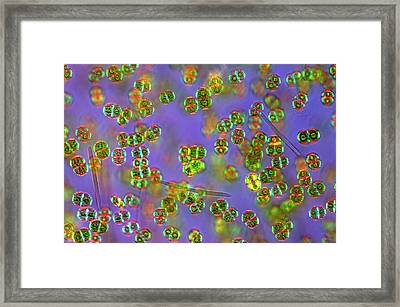 Cosmarium Desmids Framed Print