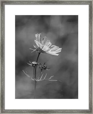Framed Print featuring the photograph Cosmo Flower Reaching For The Sun by Debbie Green