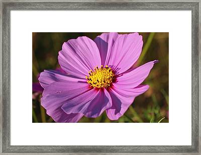 Framed Print featuring the photograph Cosmos Love by Julie Andel