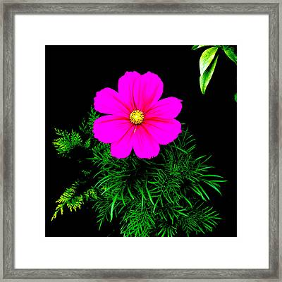 Cosmos Pink On Black 2 Framed Print