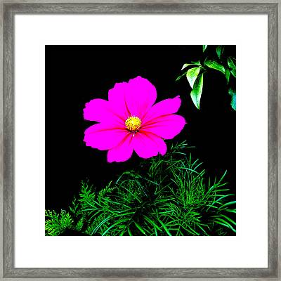 Cosmos Pink On Black Framed Print