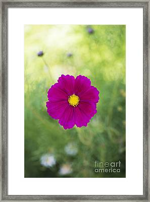 Cosmos Framed Print by Tim Gainey