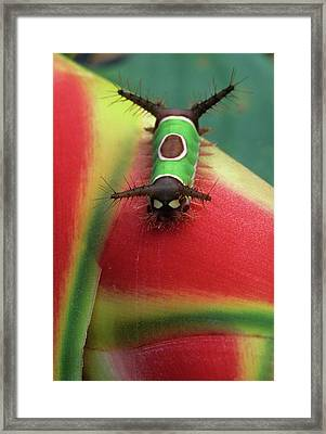 Costa Rica, Close-up Of Caterpillar Framed Print