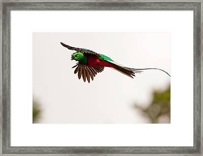 Costa Rica Resplendent Quetzal Framed Print by Jaynes Gallery