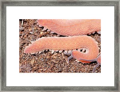 Costa Rican Velvet Worm Framed Print