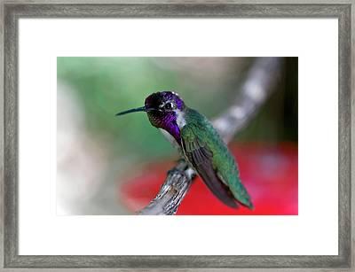 Costa's Hummingbird (calypte Costae Framed Print by Susan Degginger