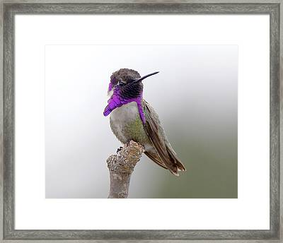 Costa's Hummingbird Framed Print