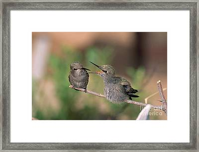 Costas Hummingbird Feeding Young Framed Print