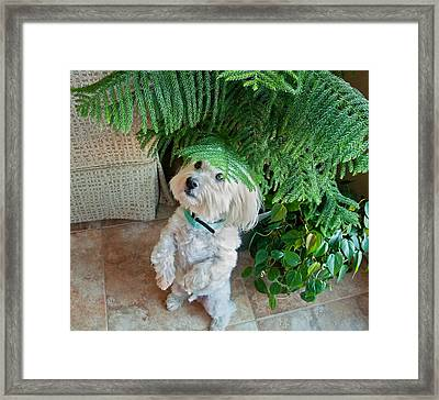 Coton De Tulear Dog Begging Framed Print