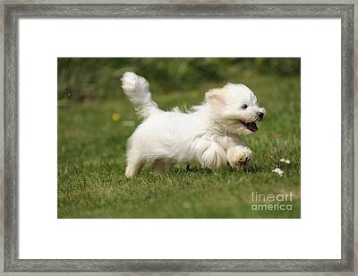 Coton De Tulear Dog Framed Print by John Daniels
