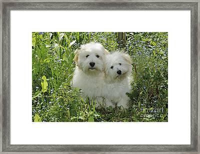 Coton De Tulear Dogs Framed Print by John Daniels