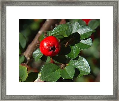 Cotoneaster Fruit 1 Framed Print by Douglas Barnett