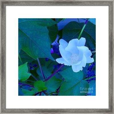 Cotton Blossom Framed Print by Eloise Schneider