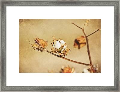 Cotton Boll Framed Print
