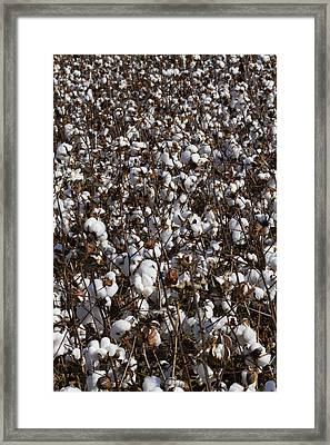 Cotton By The Acre In Limestone County Framed Print by Kathy Clark
