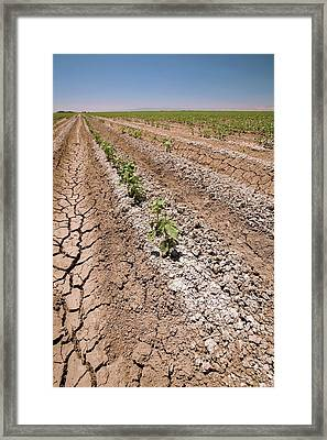 Cotton Crop In Salty Soil Framed Print by Gary Banuelos/us Department Of Agriculture
