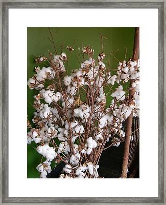 Cotton Display Framed Print by Warren Thompson