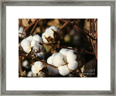 Cotton Field Series 2014 Framed Print by Beverly Guilliams