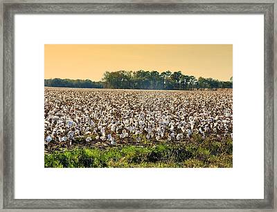 Cotton Fields Back Home Framed Print